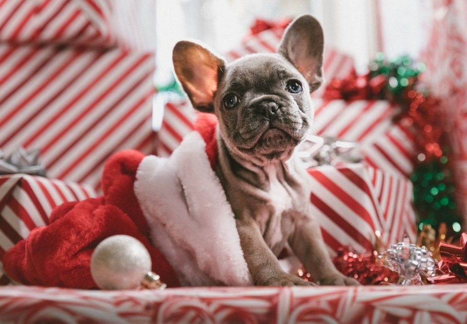 French Bulldog in a Santa Hat